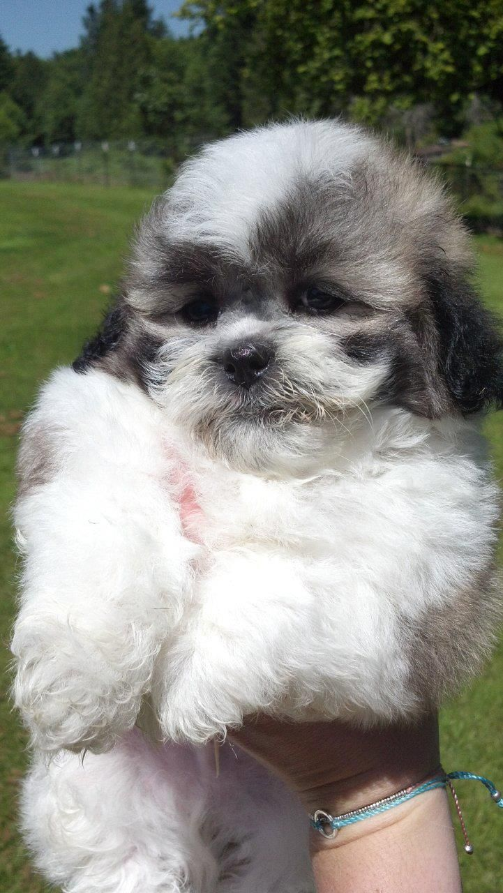 Shichon puppies for sale in kentucky - Shichon Puppy