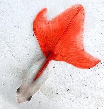 Canakin (Goldfish)