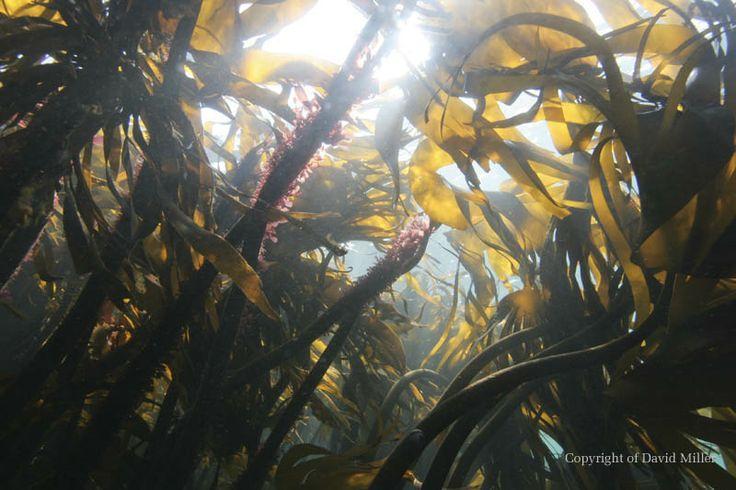 Kelp Forest © David Miller