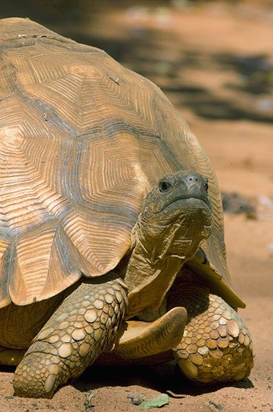 Ploughshare Tortoise. fighting extinction. Photograph by Kevin Schafer/Corbis