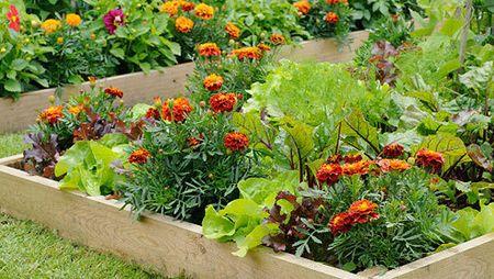 Samplantering ger friskare plantor och större skörd