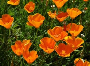 Kalifornischer Mohn, Eschscholzia californica (orange)