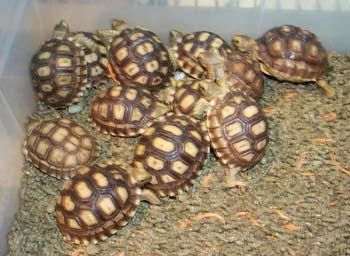 Florida Herps - Sulcata Tortoises For Sale, $89.95 (http://www.floridaherps.com/sulcata-tortoises-for-sale/)