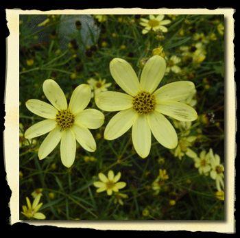 coreopsis threadleaf coreopsis drought tolerant - Threadleaf Coreopsis