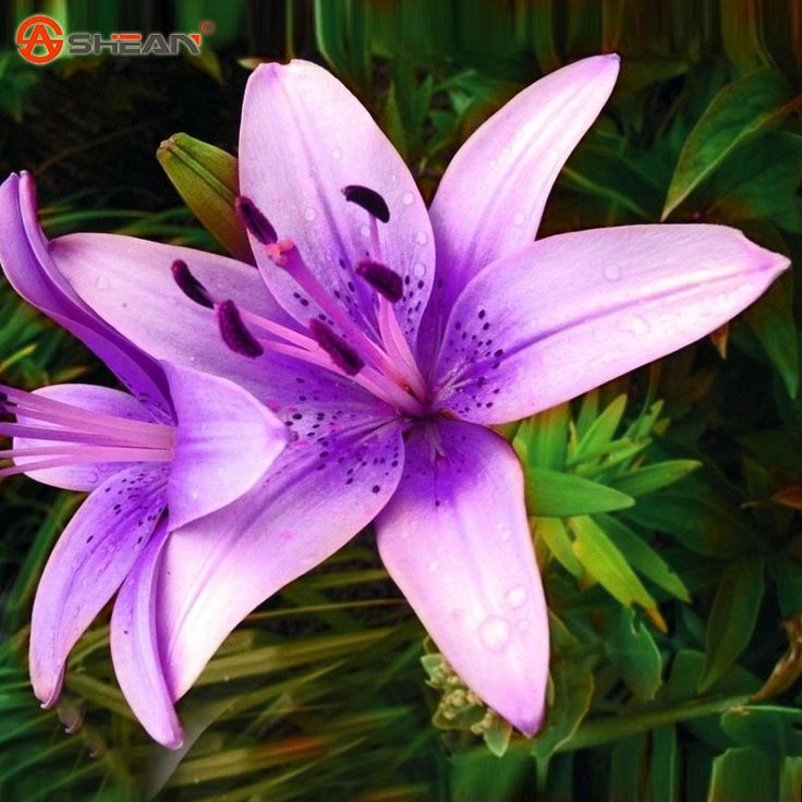 purple lily flower plant - photo #2