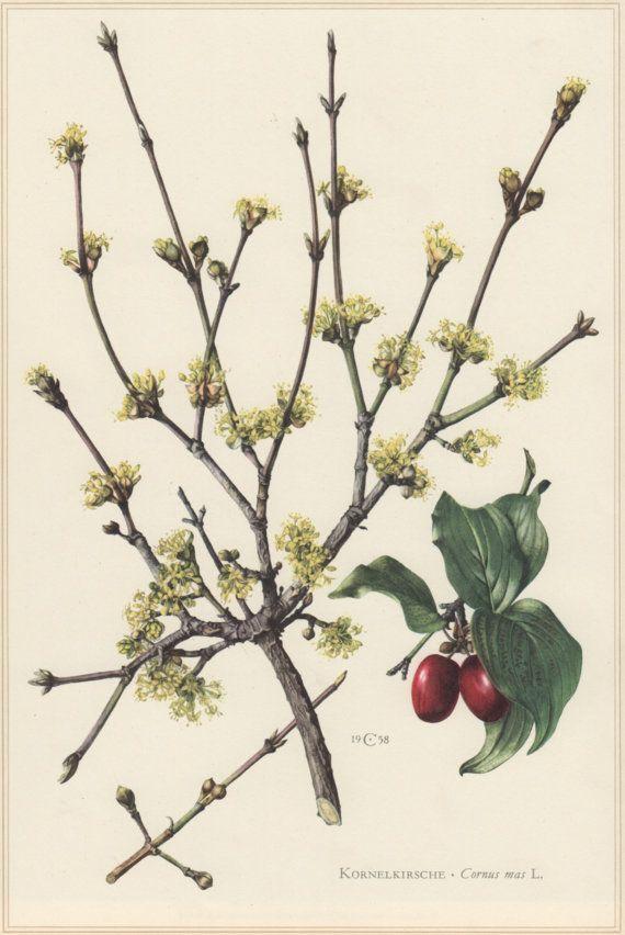 les 71 meilleures images du tableau cornaceae sur pinterest plantes d 39 ombre arbustes. Black Bedroom Furniture Sets. Home Design Ideas