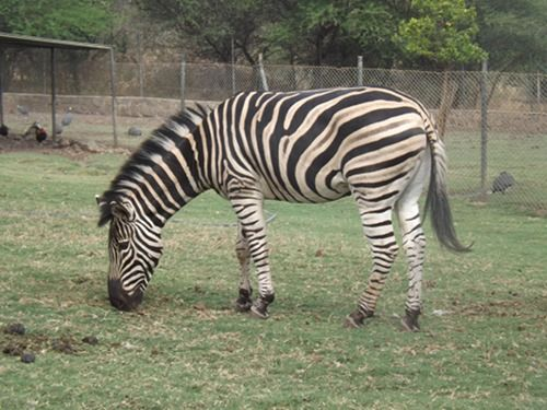 A young zebra at Casela Nature & Leisure park