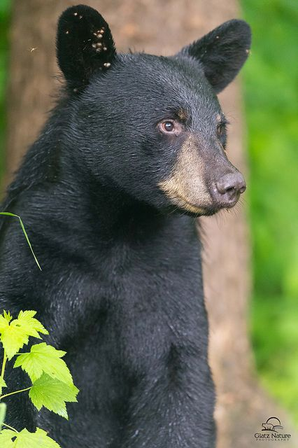 Shy Female Black Bear