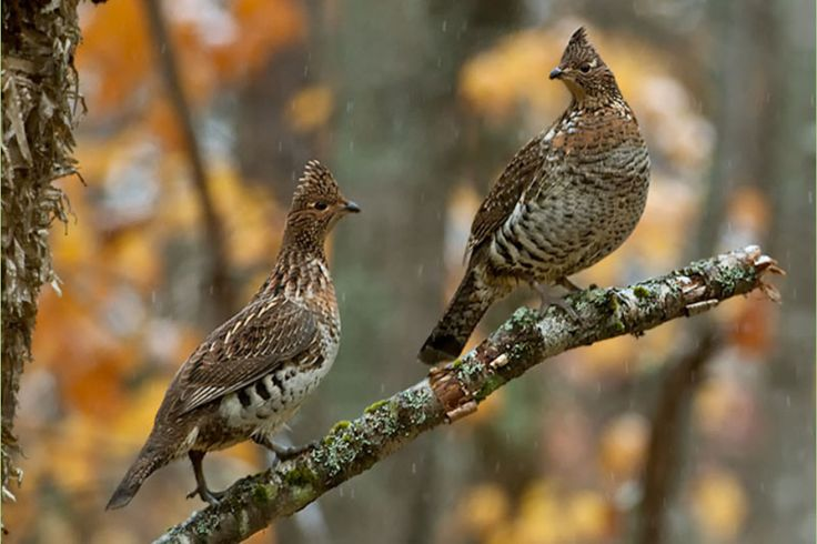 76 best Ruffed Grouse images on Pinterest | Grey partridge ...