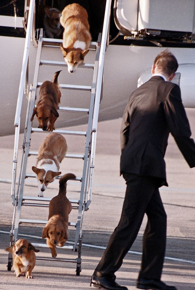 the Royal dogs descend from the plane Queen Elizabeth's corgis travel in style with one of the royal corgi wranglers
