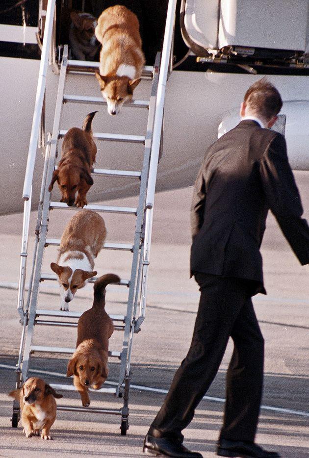 Queen Elizabeth's Corgis descend from the plane.