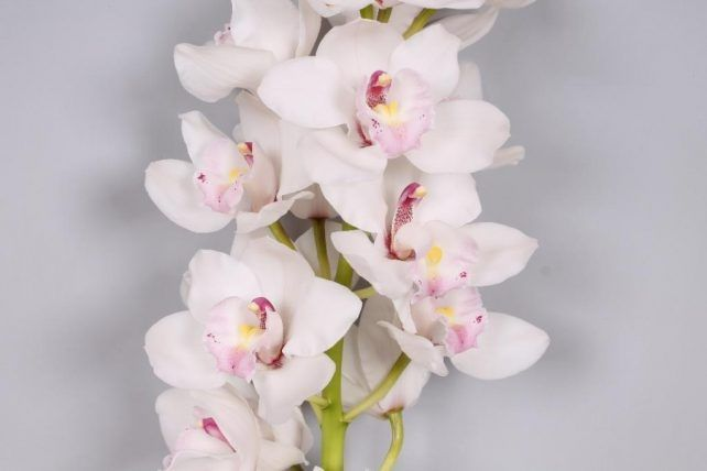 White Cymbidium Orchid 10 Stems Bulk Flowers Bulk Flowers J R Roses Wholesale Flowers In 2020 Wholesale Flowers Cymbidium Orchids Cymbidium Orchids Care