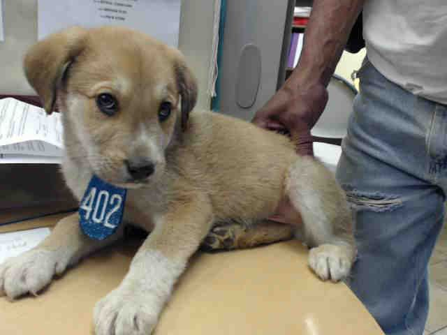 Urgent Tx Puppy Id A502662 My Name Is Unknown I Am A Male Brown Collie The Shelter Staff Think I Am About 10 Weeks Puppies Animal Shelter