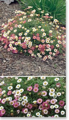 Plants Management Australia Pty Ltd  Erigeron 'Spindrift' - Fullsun / part shade - 20cmH x 50cm W - compact NOT invasive