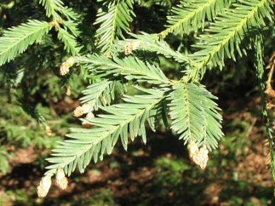 The World´s Tree Species: Coastal Redwood tree - Sequoia sempervirens