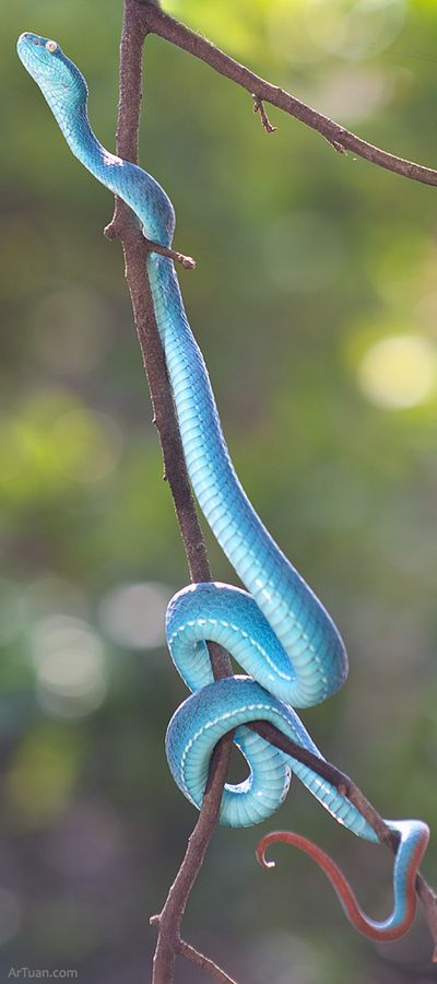 Use a rubber snake in your fruit trees to keep birds away. Trimeresurus albolabris