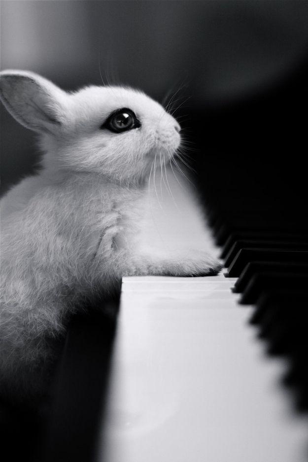 lapin piano