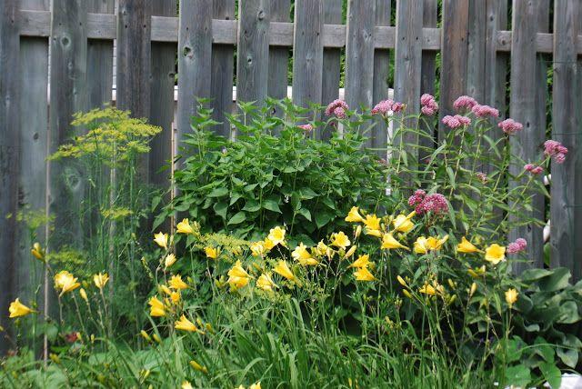 Un site très chouette où 3 dames nous décrivent les bons coups et les désastres parfois de leurs jardins. À gauche, les parasols jaunes de l'aneth, les fleurs jaunes d'hémérocalles Bitsy, l'anis hysope, pas encore en fleurs au centre, et les têtes élégantes en rose et blanc de l'asclépiade. 3 Jardins au Québec