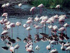 pink flamingoes#sardinia
