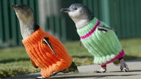 Sweaters: Cute Penguins, Oil Spill, Penguins Sweaters, Pet, Jumpers, Baby Penguins, Knits Sweaters, New Zealand, Animal