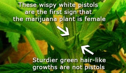First Signs Of A Female Marijuana Plant Source Http -1211