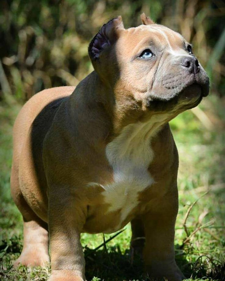 American Bully to Cute.. #AmericanBully #Doggy