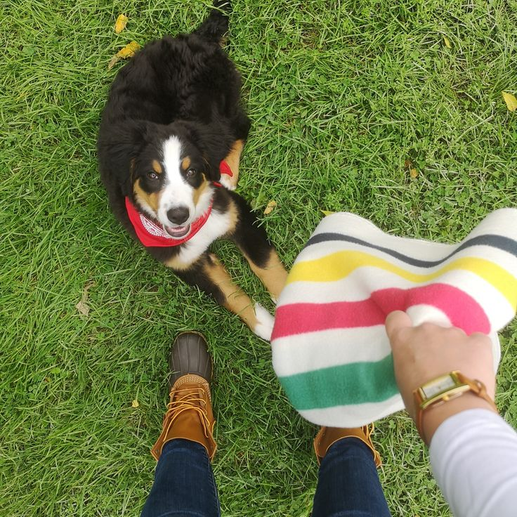 Bernese Mountain Dog Puppies Wisconsin For Sale References