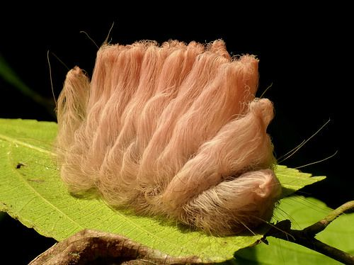 Stinging Flannel Moth Caterpillar, Megalopygidae more photos at www.flickr.com/search/?text=Stinging Flannel&user_id=75374522%40N06&sort=date-posted-desc