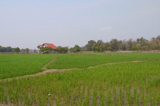 Rice Fields on Don Khong, Four Thousand Islands
