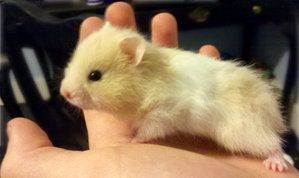 Teddy bear hamster <3