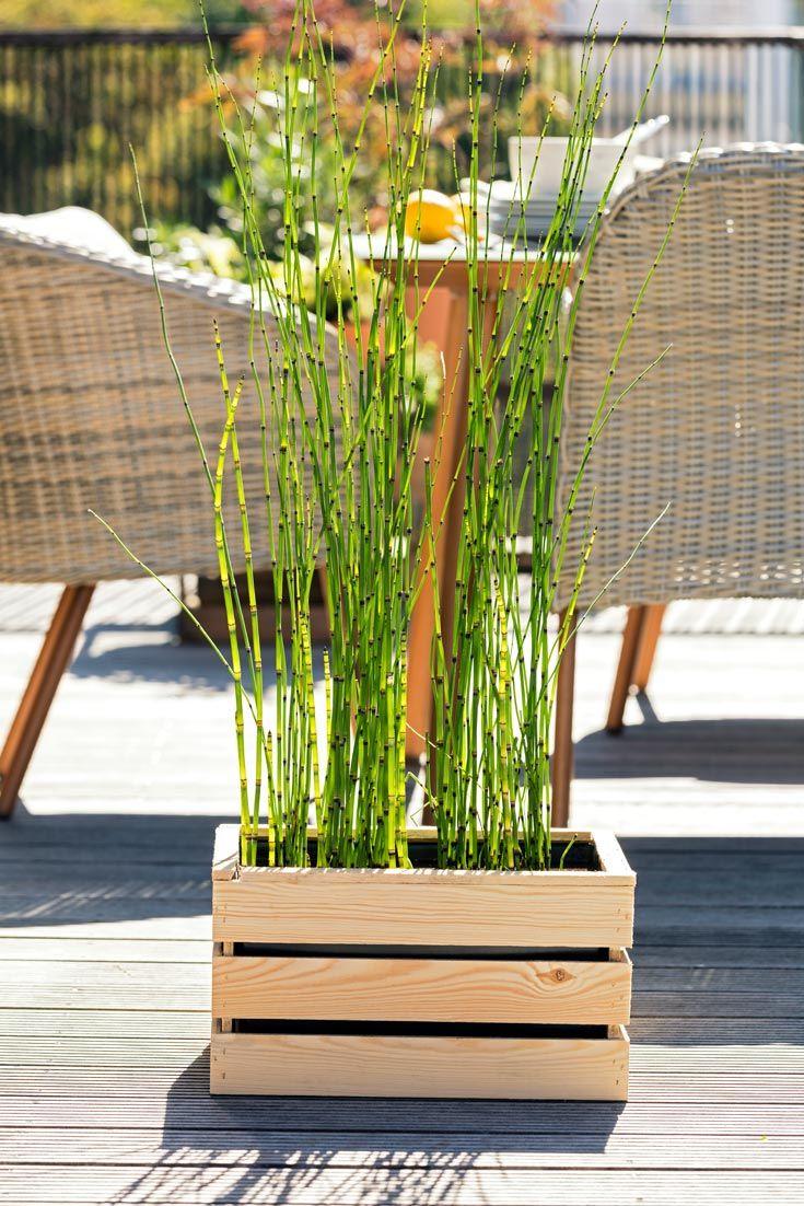 Schachtelhalm Teichpflanzen Schachtelhalm Sichtschutz
