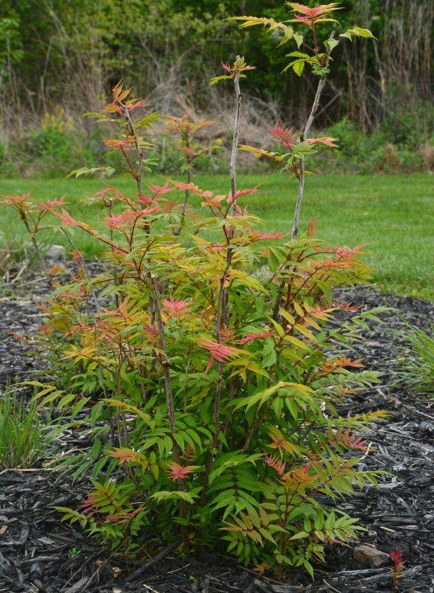 Sorbaria Sorbifolia Sem False Spirea Ideal Gardens Plants Spirea