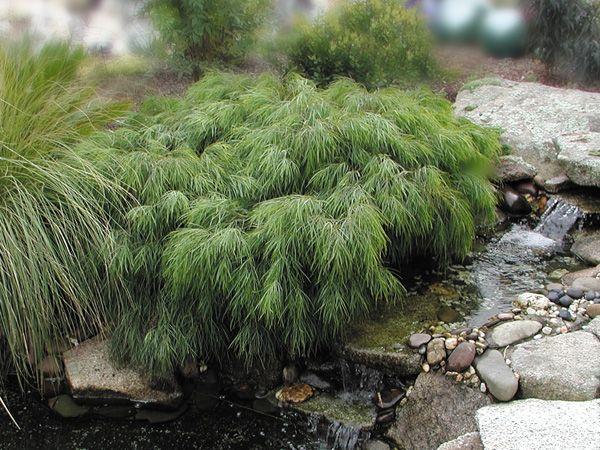 acacia greenmist02