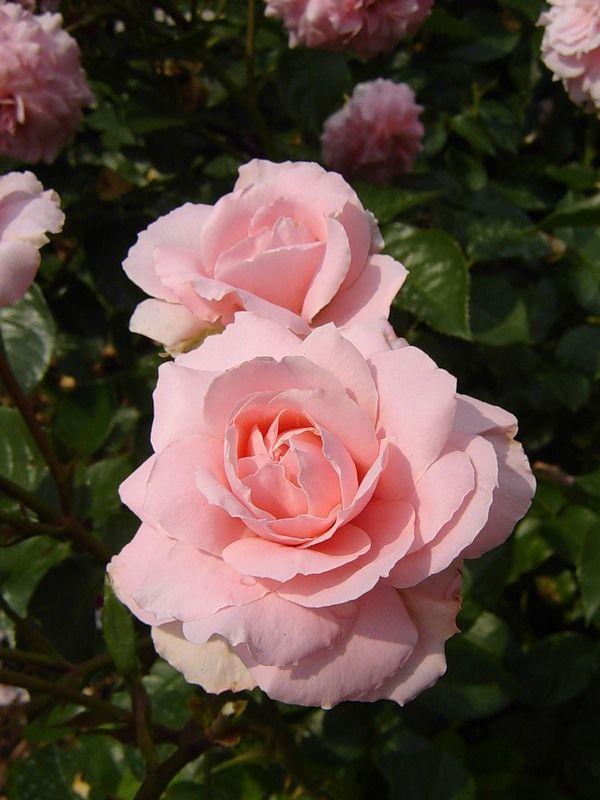 'Rossetti Rose'   Floribunda Rose. Harkness 2005