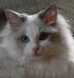 Sugar  Blue Bi-Colour Ragdoll