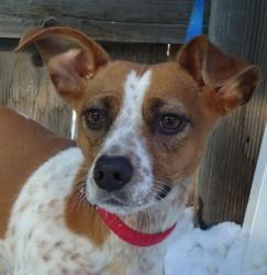Grace is an adoptable Dachshund Dog in Evans, CO. All adoptions include: Spay/neuter If the animal is not yet spayed or neutered: Every animal will be spayed or neutered prior to going home with adopt...
