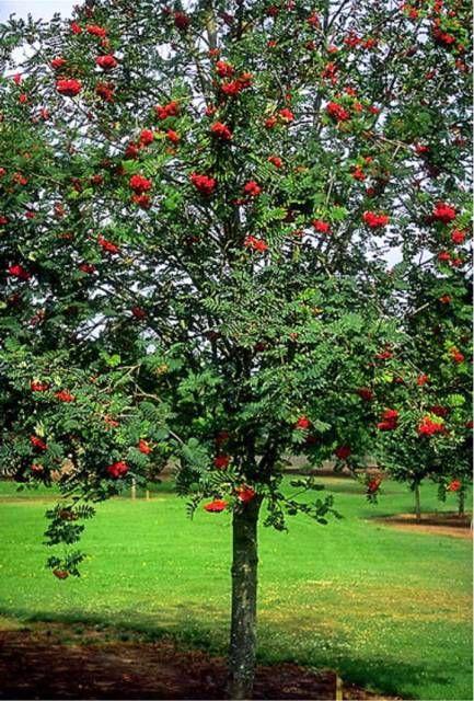 Sorbus Aucuparia Cardinal Royal | Sorbier des oiseaux Cardinal Royal