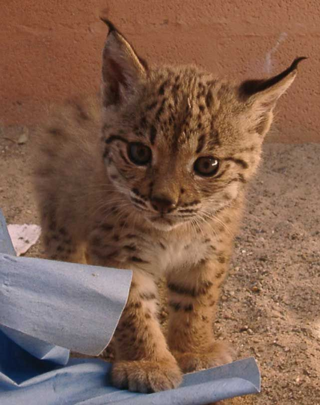 Lynx Cub Cute And Furry Pinterest Lynx Cubs And Kittens