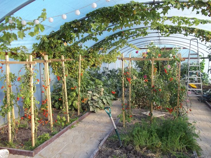 Polytunnel in mid October, the tomatoes are looking a bit straggly now