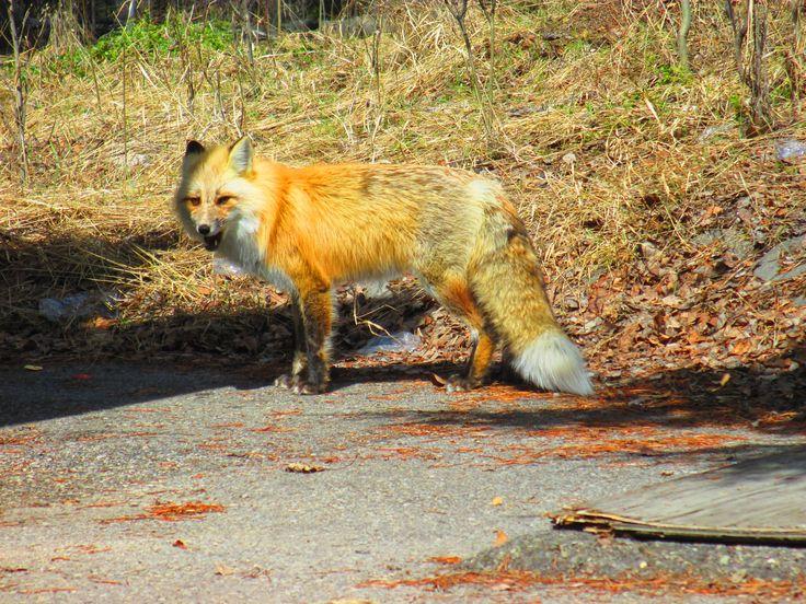 Fox, Jasper, Rocky Mountain, Alberta, Canada, Early Summer