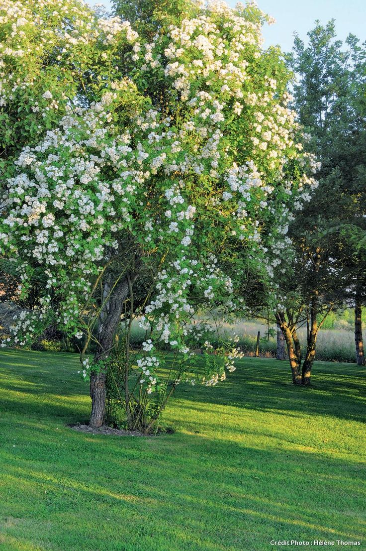 Plus de 1000 id es propos de rosiers lianes rambling for Decoration jardin rosier
