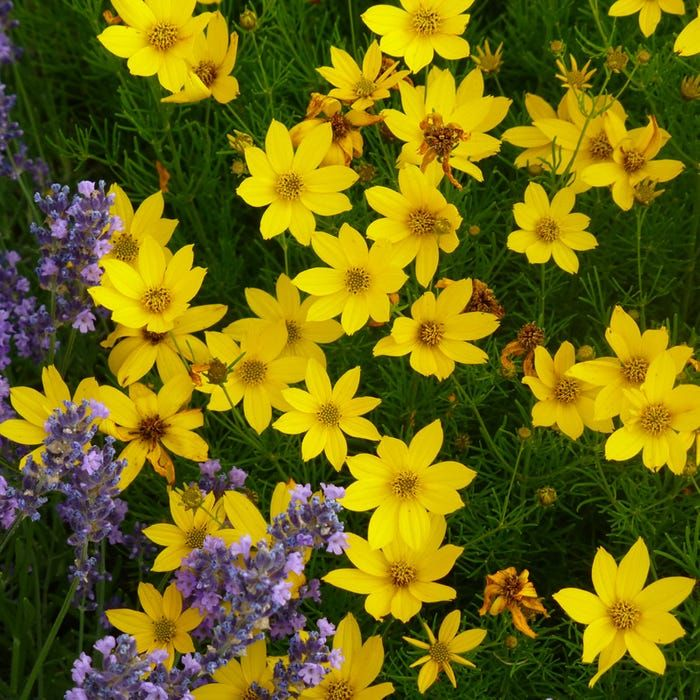 Yellow Coreopsis Verticillata Zagreb Coreopsis Verticilliata Zagreb Zagreb Whorled Ti Long Blooming Perennials Drought Tolerant Plants Landscaping With Rocks