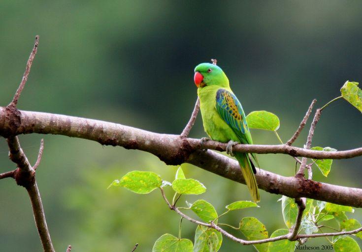 Great-billed Parrot (Tanygnathus megalorynchos) / Черноплечий большеклювый попугай