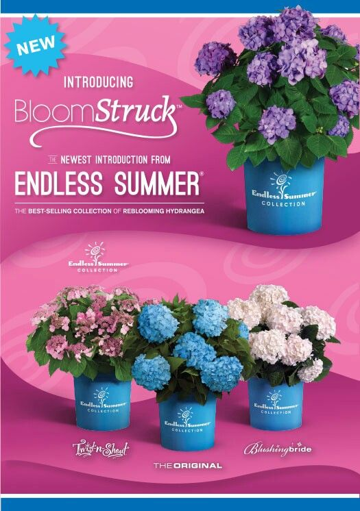 Endless Summer hydrangeas offer-Carefree color!
