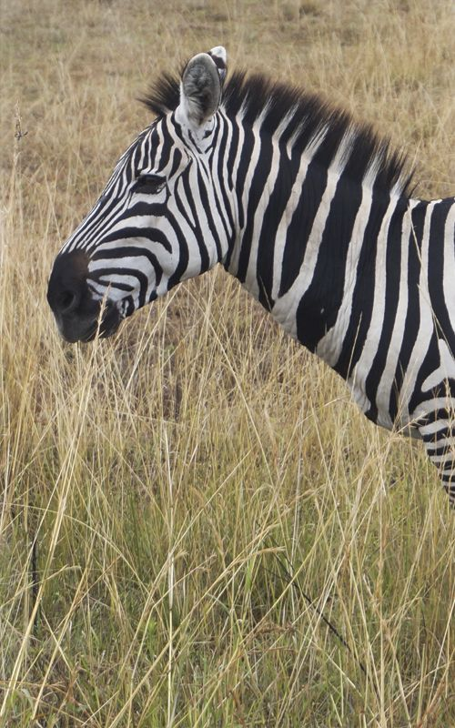 Safari en #Kenia! Los mejores consejos de viaje en www.espressofiorentino.com para que tu experiencia viajando al país africano sea maravillosa!