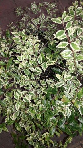 1000 images about mis plantas on pinterest no se norte - Arbustos nombres ...