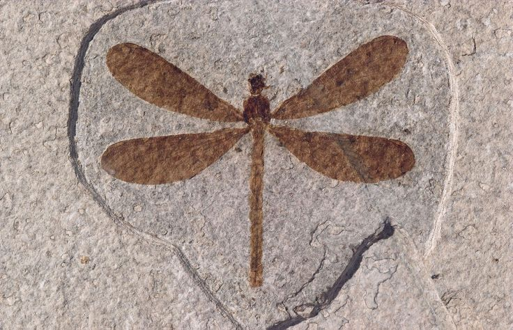 Unidentified dragonfly, approximately 4.5 cm long. Photo by Arvid Aase of Fossil Country Museum specimen