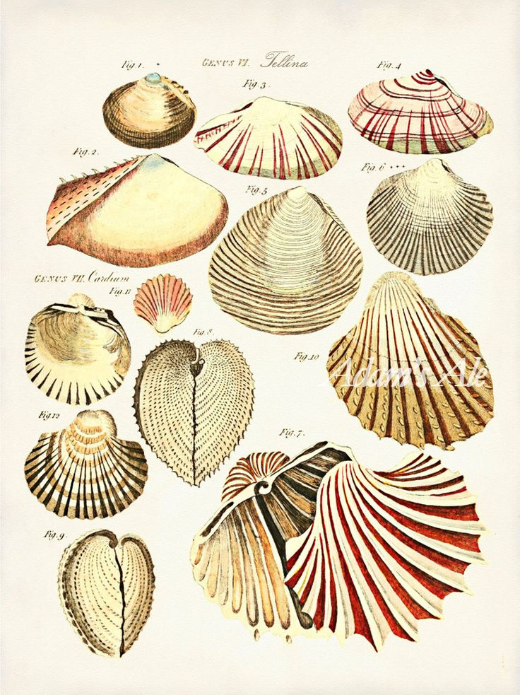 Vintage Mollusk Seashell Art Print: Colorful Oyster Shells Antique Scientific Illustration Reproduced From Circa 1783 British Text. $9.99, via Etsy.