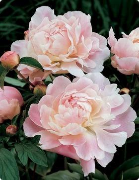 86 Best Peonies Images On Pinterest Peonies Flowers
