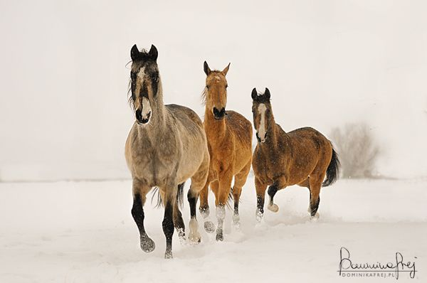 Akhal-Teke mares by ~MsCarmen on deviantART